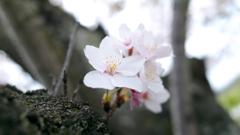 胴咲きのサクラ~北条鉄道・播磨横田駅2021