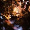 春の赤紅葉