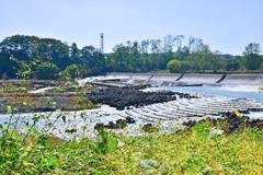 入間川・笹井の堰