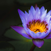 WaterLilly -2020-