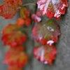 ブロック塀の紅葉