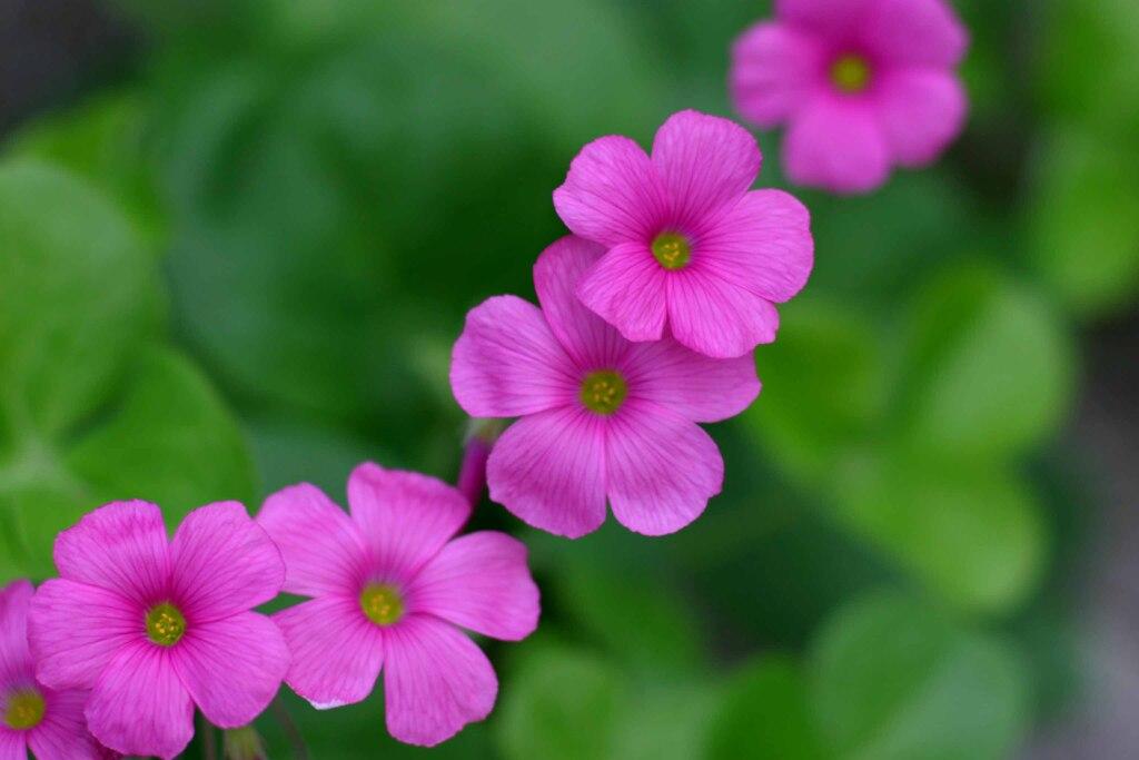 花であるイモカタバミ