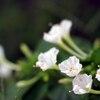 白のオシロイバナ