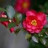 庭の山茶花(さざんか)