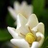 クチナシ、咲き始め