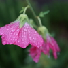 小雨の中のタチアオイ