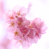待遠しい春