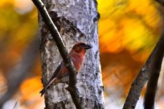 森の赤い鳥(イスカ)