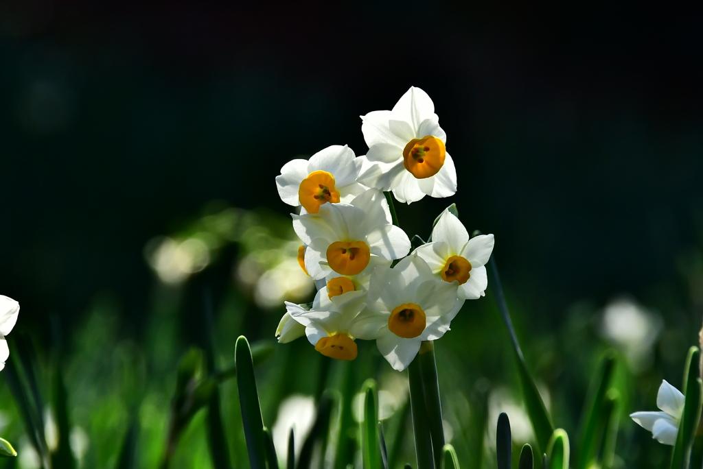 吾妻山早咲きの水仙