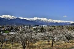 梅の香と北アルプス連峰