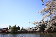 猿賀公園の桜