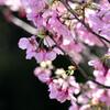 近所の桜満開