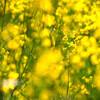最後の菜の花畑