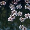 桜の手鞠たち