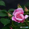 庭のバラⅢ