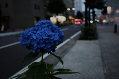 薄暮の紫陽花