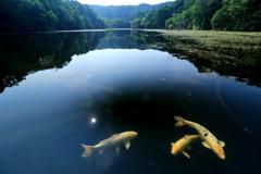 夏、小呂池の鯉