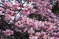 新宿御苑・春