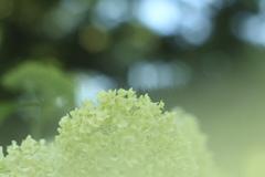 真昼の紫陽花 ②