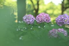 真昼の紫陽花 ①