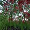 ヒガンバナの木