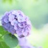 ゆるふわ紫陽花