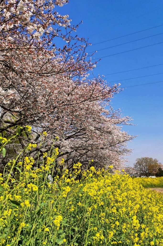 桜2021-(2) @三橋総合公園