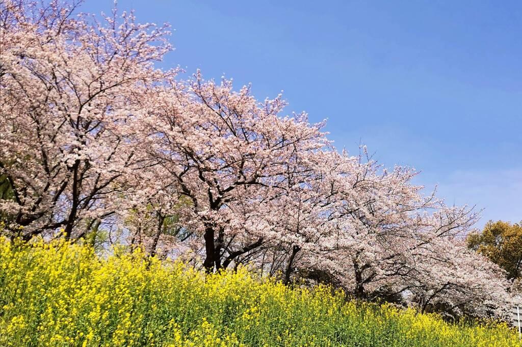 桜2021-(1) @三橋総合公園