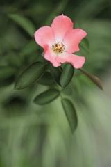 淡い色の花