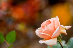 アンブリッジローズ〜薔薇