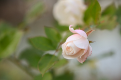 ボレロ〜薔薇
