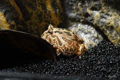 蛙の冬仕度1