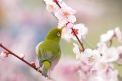 春を謳歌するメジロさん
