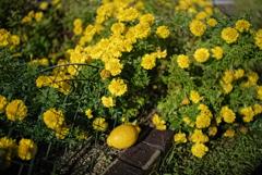 檸檬 -- 敵に黄色い花吹雪を降らせ