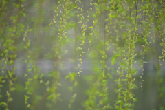 Sprouts of Willow