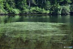 白駒池の藻