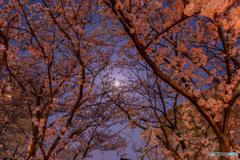 スーパームーンと桜のトンネル