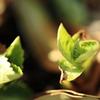 紫陽花の新芽 その2