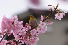 メジロと桜色の競演