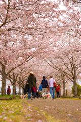 満開の桜づつみ回廊
