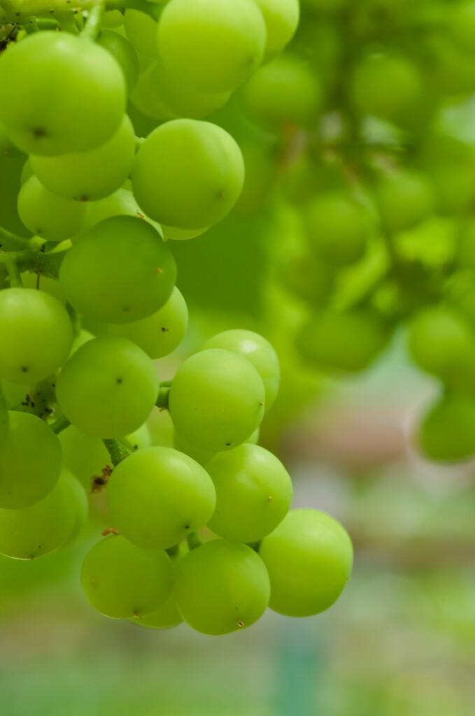 温室のブドウ