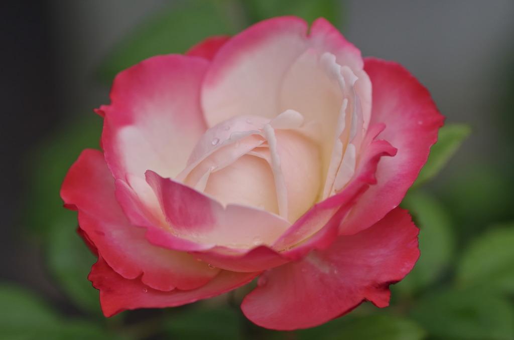 薔薇 ノスタルジー