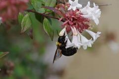 クマんバチ