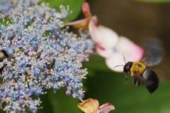 くまんバチ
