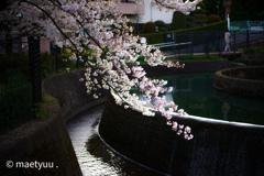 円筒分水と桜