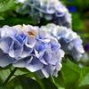 神社に咲く紫陽花