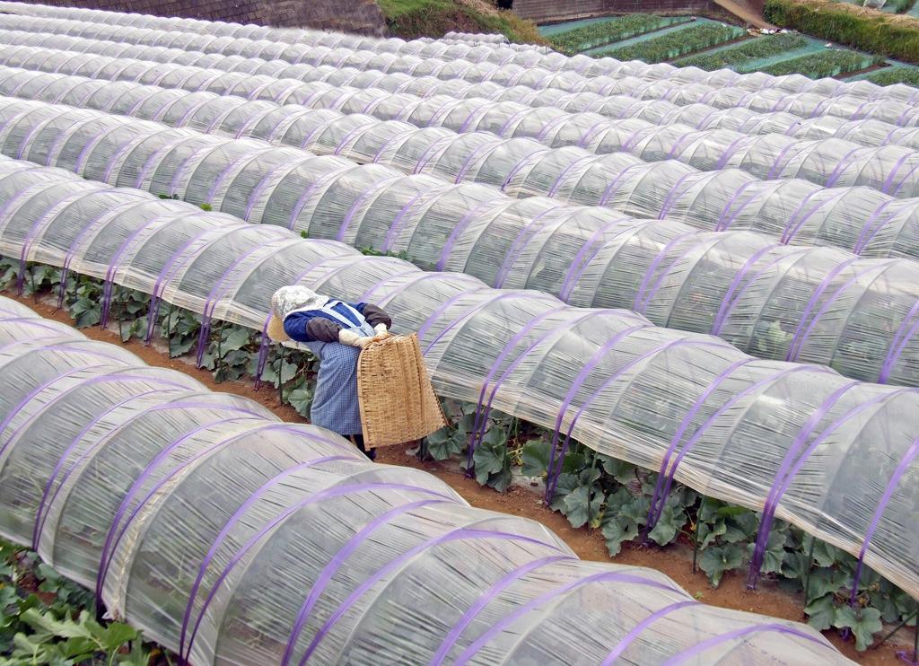 スイカ畑~収穫のころ