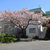 山手住宅の庭八重桜が満開