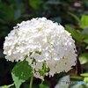紫陽花シロ