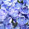 紫陽花の心Ⅷ